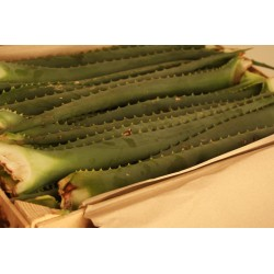 Aloe Arborescens Frischeblatt in der Kiste